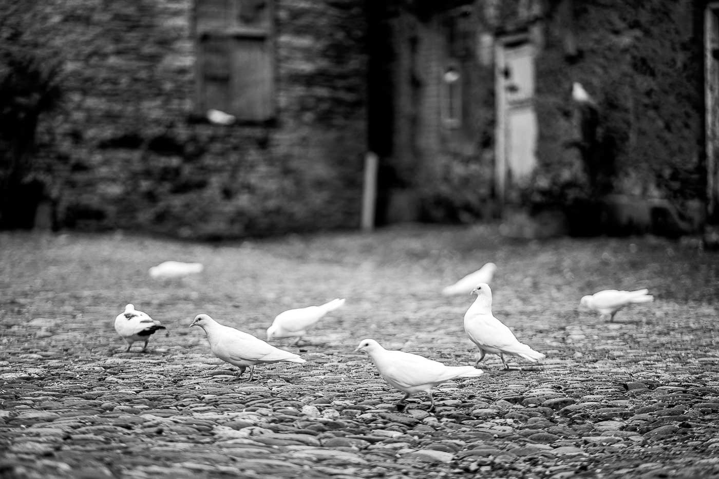 Maunsel House doves